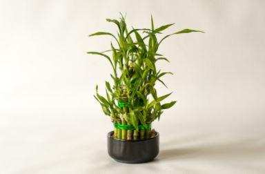 photo lucky bambou décoration zen
