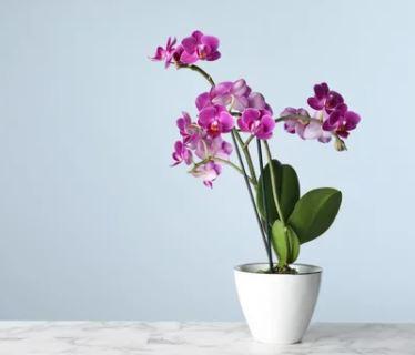 photo orchidée en pot